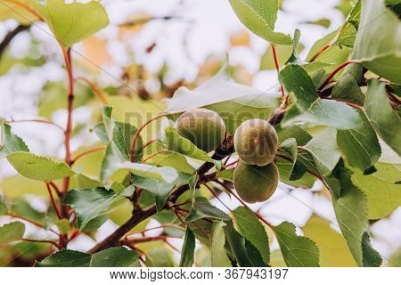 Unripe Green Apricot Fruits Growing On Tree On Blurry Nature Background. Young, Green Almonds On Tre