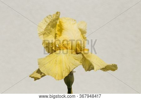 Iris. A Plant With Impressive Flowers, Garden Decoration. Iris Germanica Is The Name For A Species O