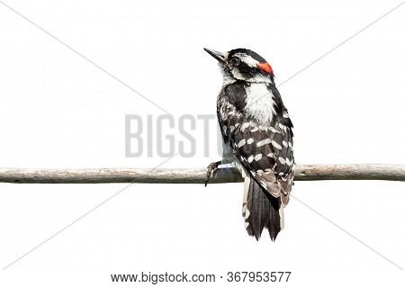 A Backside View Of A Downy Woodpecker As It Clutches Onto A Branch. The Red Patch On Its Head Glows