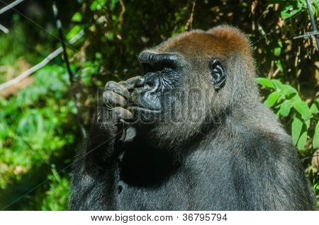 Gorilla Picking Its Nose
