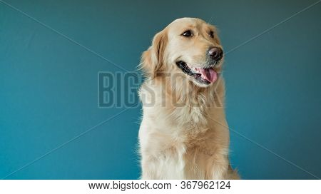 Nice Portrait Of A White Dog Golden Retriever Looking In Camera. Closeup Portrait Of White Retriever