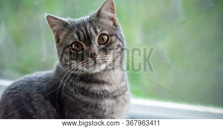 A Gray Cat With Yellow Eyes Sits On A Window. Pets. Long Mustache, Pink Nose And Gray Fluff. Blurred