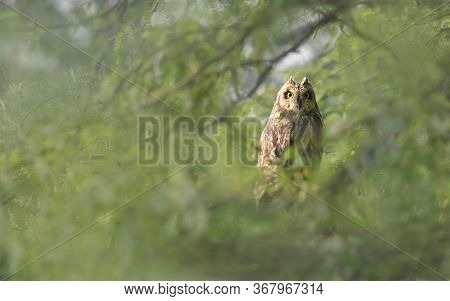 The Short-eared Owl Is A Species Of Typical Owl. Owls Belonging To Genus Asio Are Known As The Eared