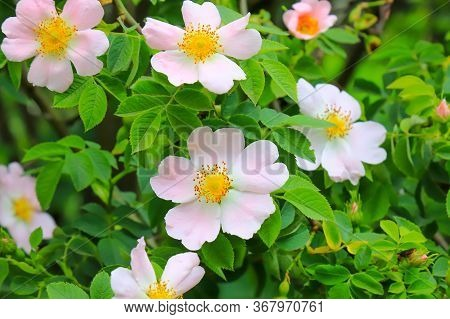 Delicate, Beautiful, Pale Pink Rosehip Flowers With Large Yellow Buds Bloomed In The Garden. Floweri