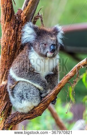Koala or marsupial bear is a herbivorous mammal sitting on a branch. Australia endemic. The only modern representative of the koal family. Ecotourism concept