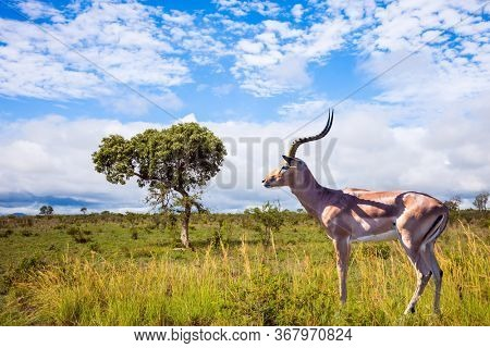 South Africa. The Kruger Park. Impala - medium-sized African antelope graze in the green bushes. Animals live and move freely in the African savannah. The concept of ecological and photo tourism