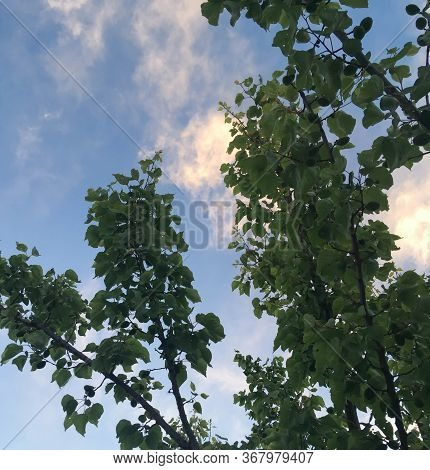 Tops Of Apricot Trees On A Background Of Blue Sky. Green Apricot Trees In The Garden