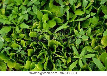 Green Grass Background, Fresh Green Grass, Green Grass Texture, Close To Beautiful Green Grass. A Va