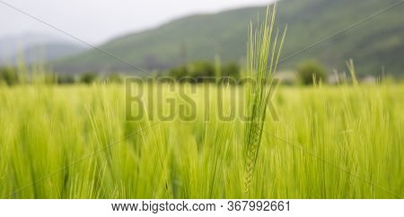 Barley Field In Sunset Time. Barley Grain Is Used For Flour, Barley Bread, And Animal Fodder