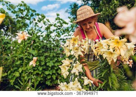 Senior Woman Gathering Flowers In Garden. Elderly Gardener Cutting Lilies Off With Pruner. Summer Ga