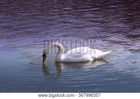 White Swan In Blue Water.  Big Bird Swims On The Surface. Swans Are Birds Of The Family Anatidae Wit