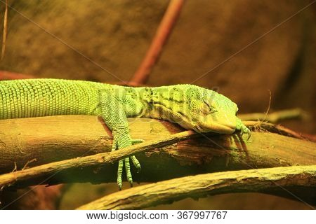 Green Lizard Lying On Wooden Branch In Zoo. Green Lizard Sleeps In Terrarium. Close-up Face Of A Sle