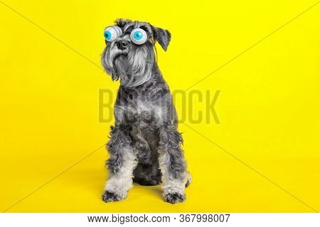 Dog. Miniature Schnauzer. Posing In The Studio On A Yellow Background. Sitting In Funny Glasses