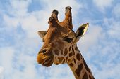A giraffe against the sky in the zoo of Murcia (Spain) poster