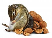 Funny overeating chipmunk with nuts diet concept poster