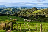 Sheep eating grass on the mountains of the north island of New Zealand poster