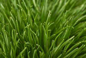Bright Green Grass. Green Grass Close-up Background.