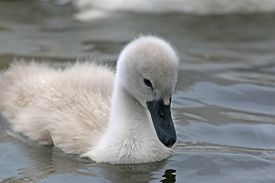 Cygnet And Swan Swimming In A Lake
