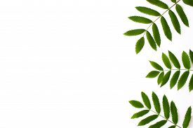 Green Rowan Leaves Isolated On White Background Top View With Copy Space. Green Foliage. Floral Natu