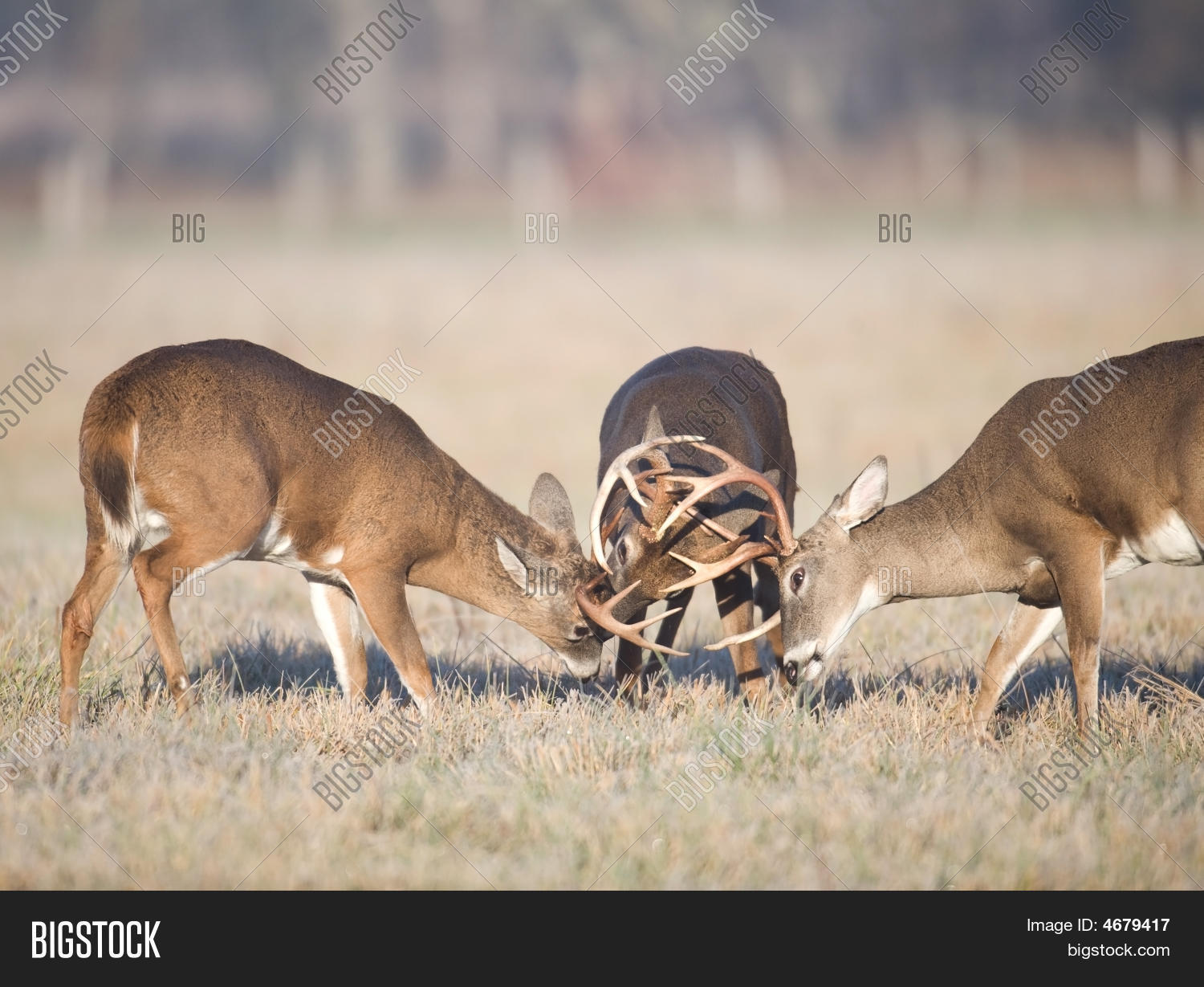 Choctaw Hunting Lodge: 44,000 Acres of hunting land Pictures of whitetail bucks fighting