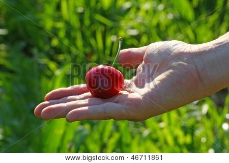 Hand Of A Child Who Holds The Mature Red Cherry Just  Picking