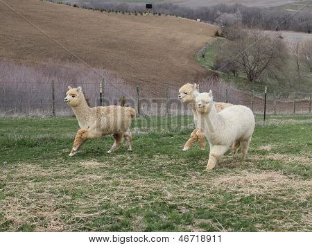 White Alpacas Running