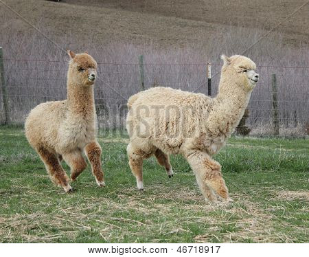 Two Alpacas Running