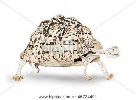 Skeleton of the turtle walking on a white background. poster