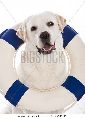 Beautiful labrador retriever sitting on floor with a sailor buoy poster