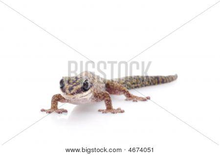Oedura Monilis Gecko