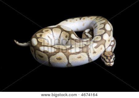 Albino Spider Ball Python