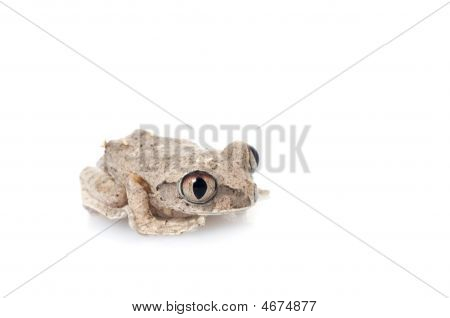 African Big eyed Tree Frog (Leptopelis) against a white background. poster