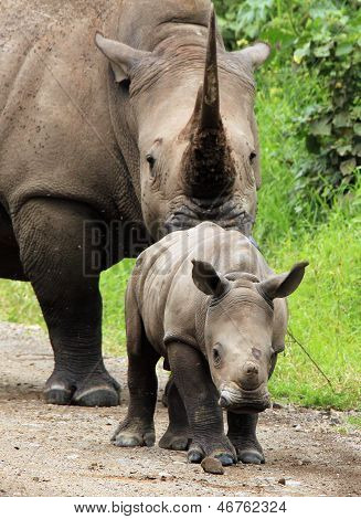 White Rhino Calf With Mother
