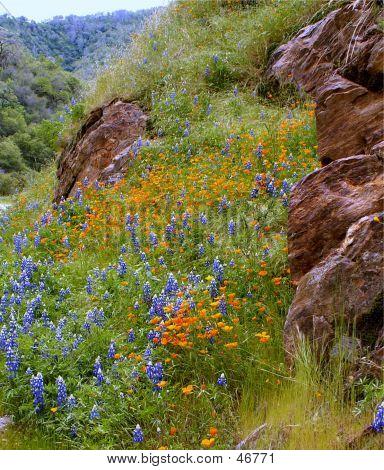 California Hillside Wildflowers
