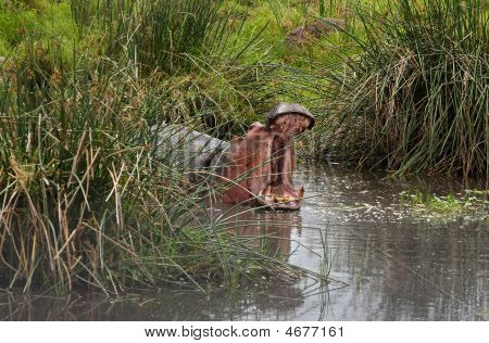 Hippopotamus or hippo`s pool in African national park poster