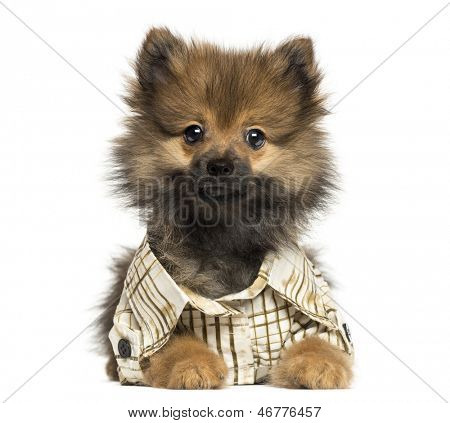 Dressed-up Spitz puppy lying, wearing a shirt, looking at the camera 4 months old, isolated on white