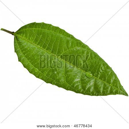 One green leaf of a tree Passion Fruit close up macro shot set isolated on white background