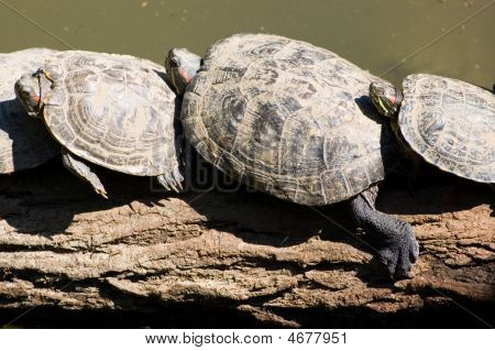 Tortoises resting one on the other on branch poster