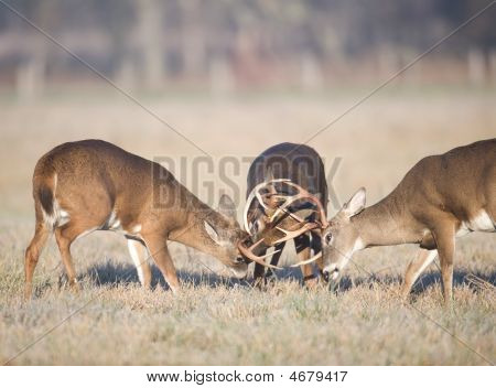 Three Whitetail Bucks Fighting