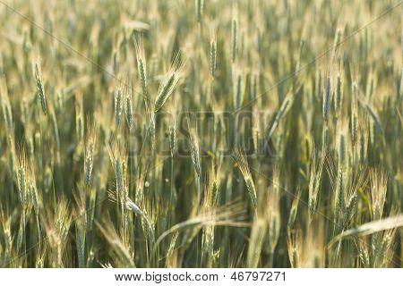 Green corn field, summer lights