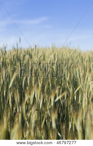 soicate, ear, spica, spike, aristate, corn, plant, green, harvest, grain, cereal, crop, frumenty, wh