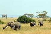 Three Elephants (Loxodonta Africana) Walking on Savannah Serengeti Tanzania poster