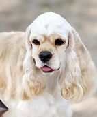 Young american Cocker Spaniel sitting in front poster
