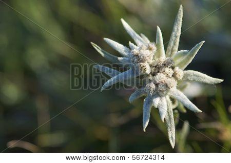 Edelweiss flower in  Gorkhi-Terelji National Park, Mongolia
