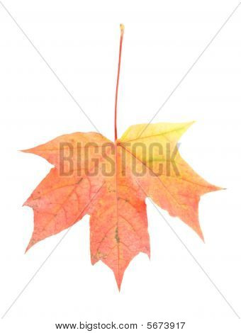 Big Rusty Maple Leaf Isolated