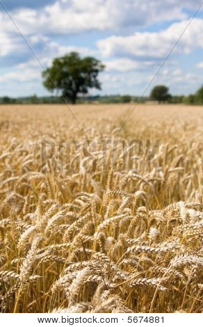 Wheat Field In Summer With Blue Sky