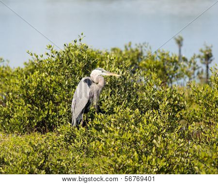 Great Blue Heron Watching Intently
