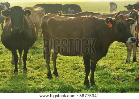 herd of young cattle around jersey heifer poster