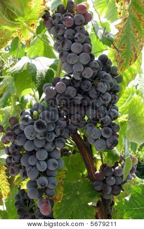 Bulgarian Grape