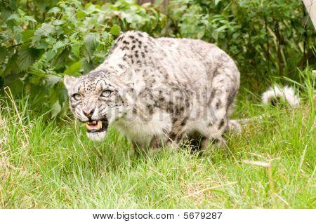Snarling Snow Leopard